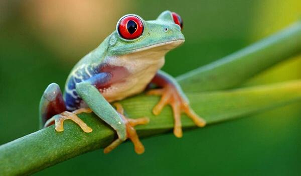 Фото: Лягушка квакша