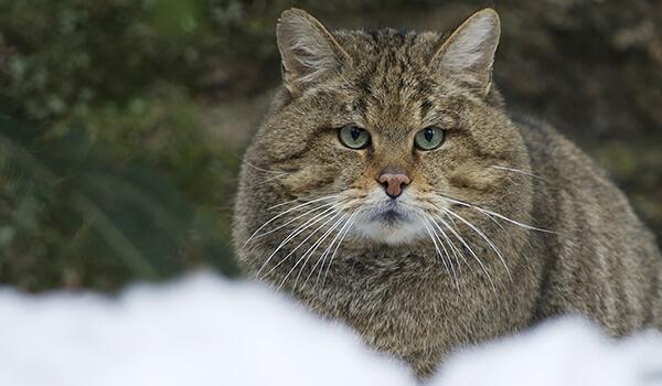 Фото: Амурский лесной кот зимой
