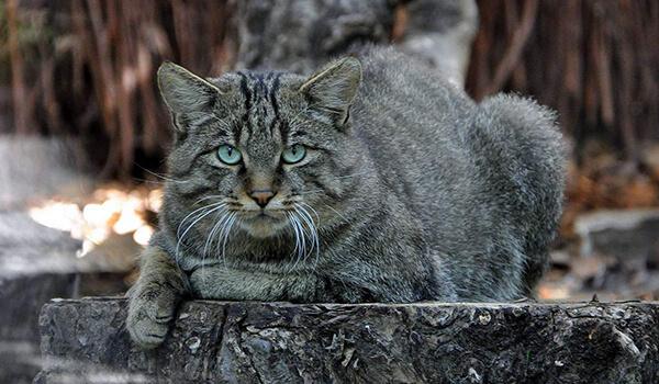 Фото: Амурский лесной кот в природе