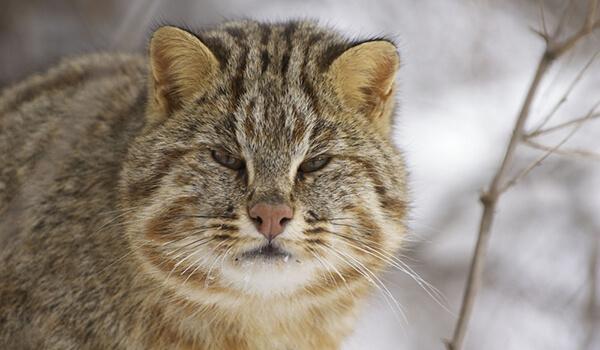 Фото: Дикий амурский лесной кот