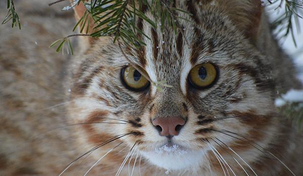 Фото: Амурский лесной кот в России
