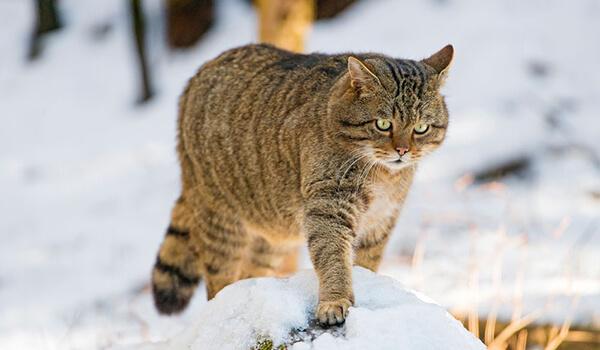 Фото: Амурский лесной кот из Красной книги
