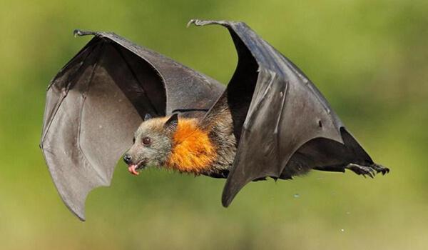 Фото: Как выглядит летучая собака