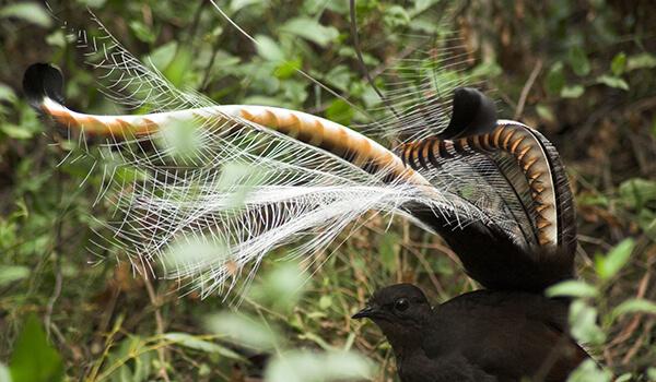 Фото: Птица лирохвост