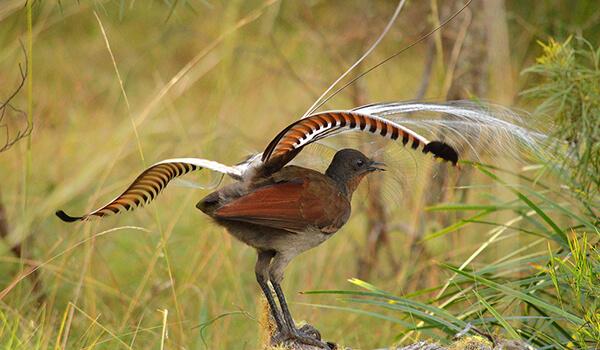 Фото: Австралийский лирохвост