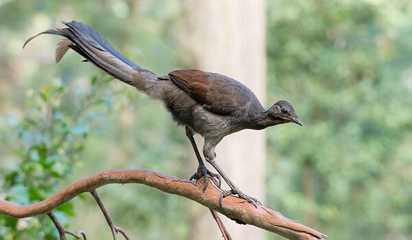 Фото: Лирохвост он же птица-лира
