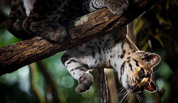 Фото: Кошка маргай