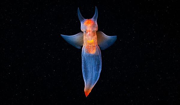 Фото: Крылоногий морской ангел