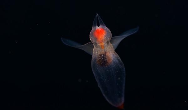 Фото: Рыба морской ангел