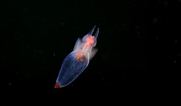 Фото: Как выглядит морской ангел