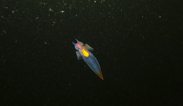 Фото: Морской ангел