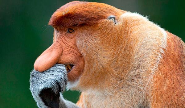 Фото: Обыкновенный носач