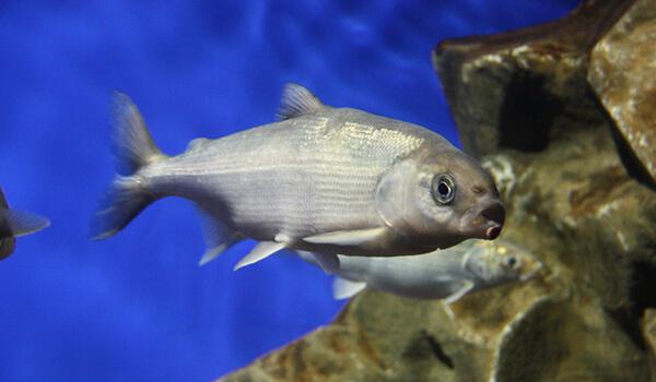 Фото: Рыба омуль