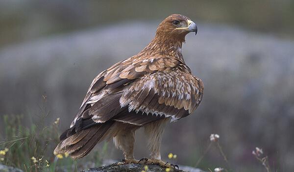 Фото: Как выглядит орел-карлик