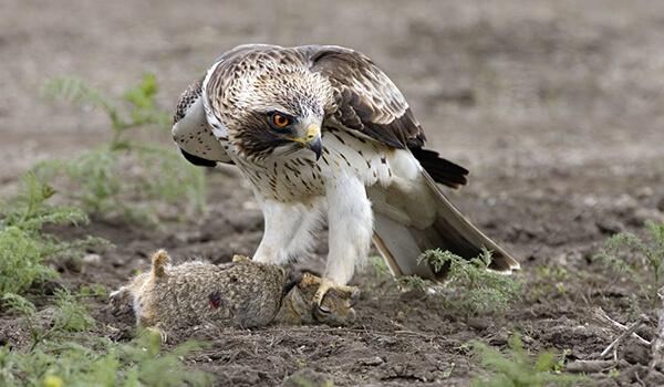 Фото: Птица орел-карлик