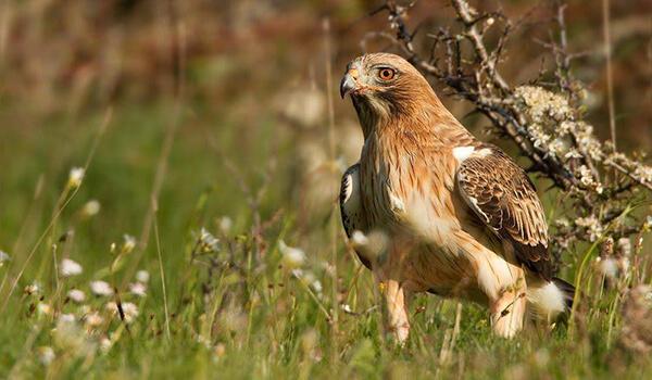 Фото: Орел-карлик из Красной книги