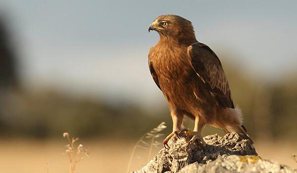 Фото: Орел-карлик в природе