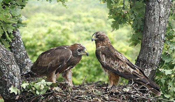 Фото: Самец и самка орла-карлика