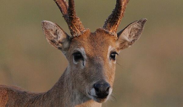 Фото: Пампасный олень в природе