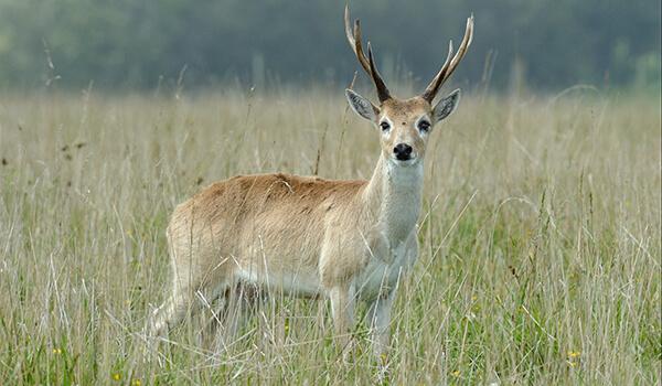 Фото: Пампасный олень