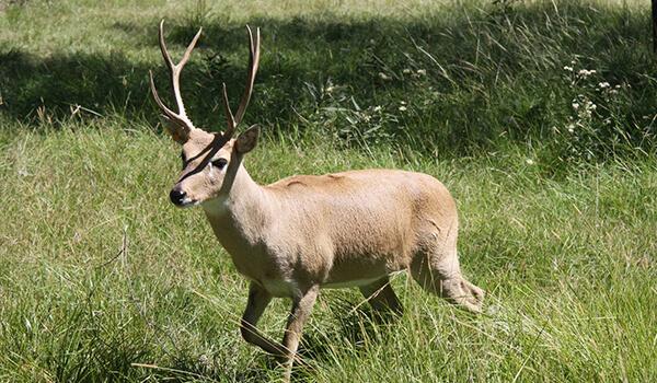 Фото: Пампасный олень в Южной Америке