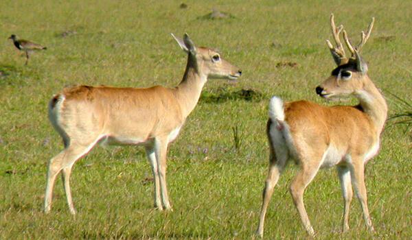 Фото: Самец и самка пампасного оленя