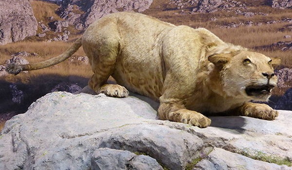 Фото: Как выглядит пещерный лев