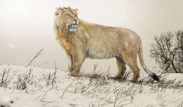 Фото: Вымерший пещерный лев