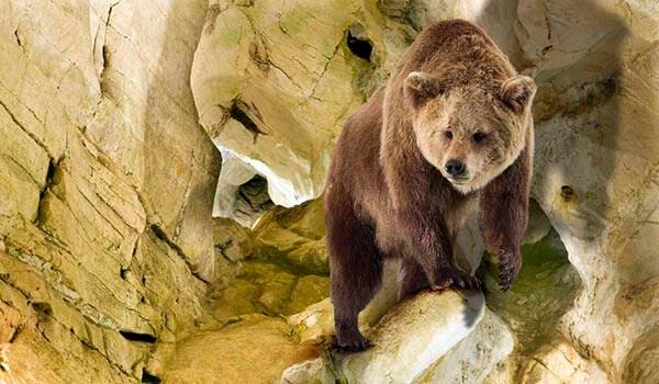 Фото: Пещерный медведь в Евразии