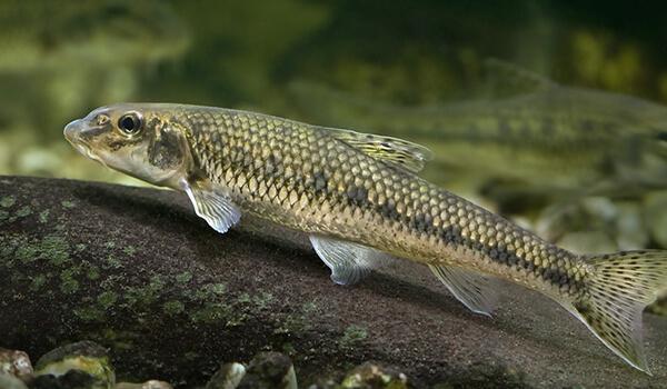 Фото: Рыбы пескарь