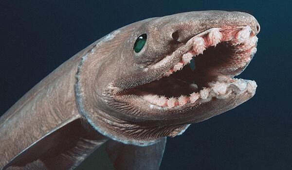Фото: Плащеносная акула из Красной книги