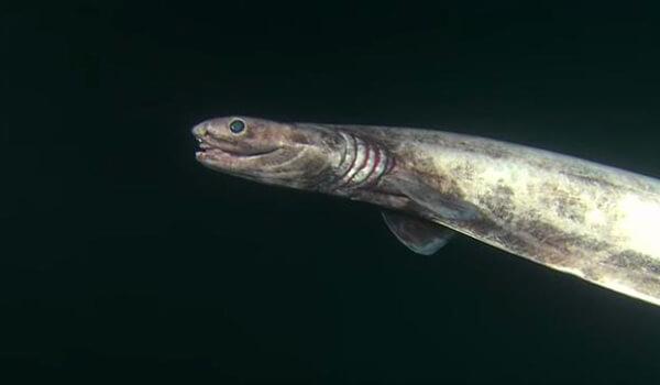 Фото: Рыба плащеносная акула