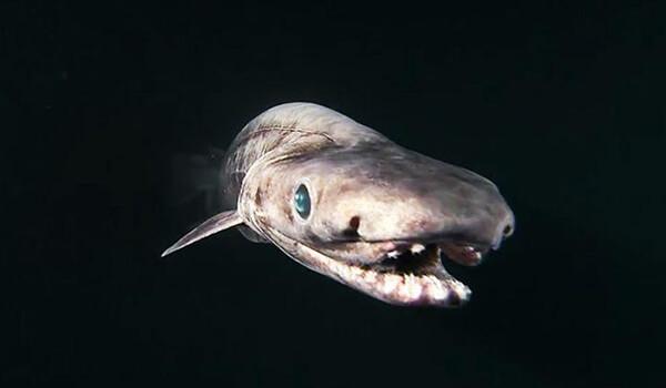 Фото: Плащеносная акула