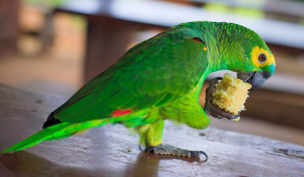 Фото: Говорящий попугай амазон