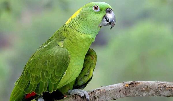 Фото: Венесуэльский попугай амазон
