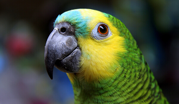 Фото: Кубинский попугай амазон
