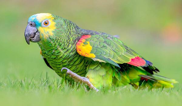 Фото: Как выглядит попугай амазон