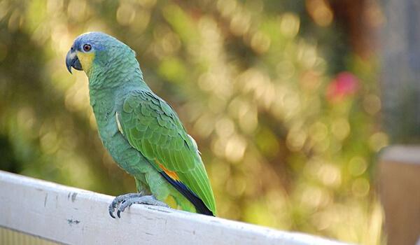 Фото: Попугай амазон