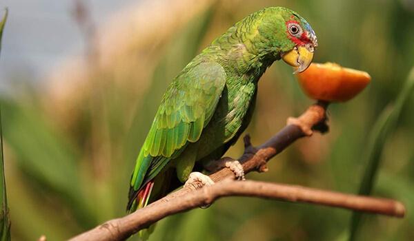 Фото: Зеленый попугай амазон