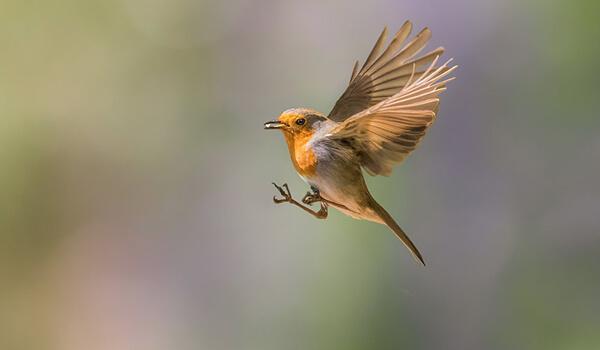Фото: Птица малиновка в полете