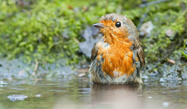 Фото: Птица малиновка