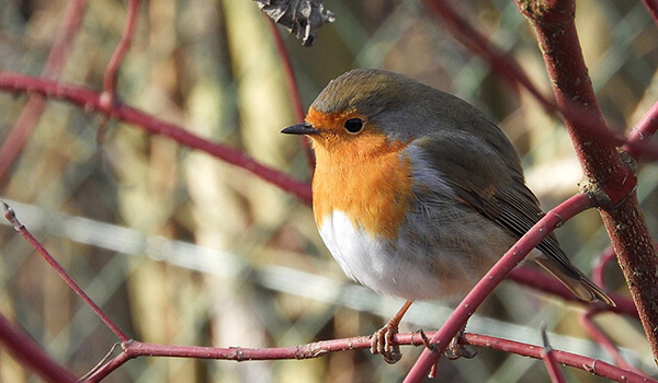 Фото: Птица малиновка на ветке