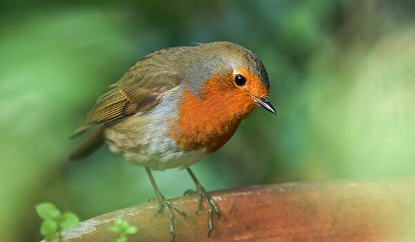 Фото: Как выглядит птица малиновка