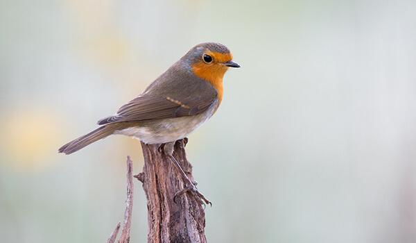 Фото: Самец птицы малиновки
