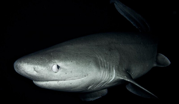 Фото: Древняя шестижаберная акула