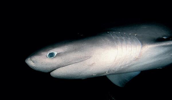 Фото: Шестижаберная акула