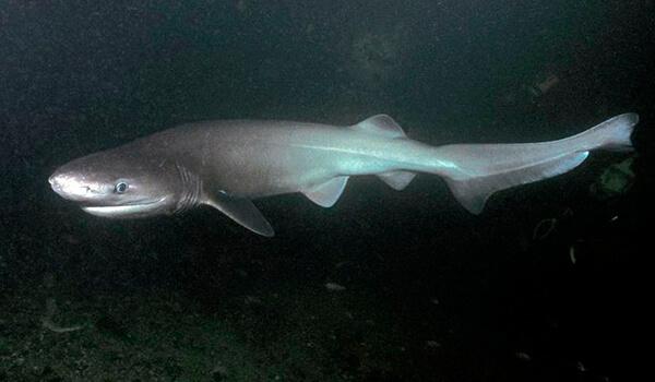 Фото: Шестижаберная акула в море