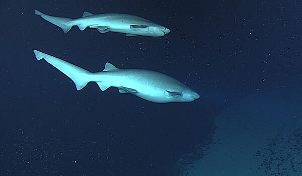 Фото: Серая шестижаберная акула