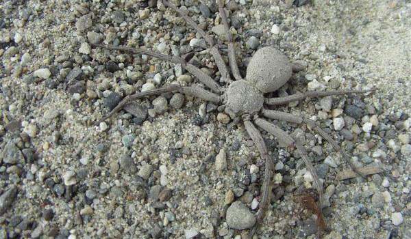 Фото: Шестиглазый песочный паук