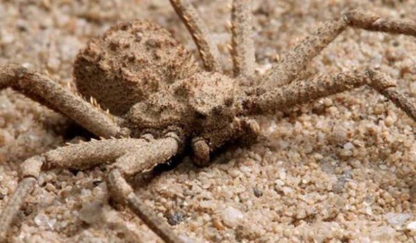 Фото: Как выглядит шестиглазый песочный паук